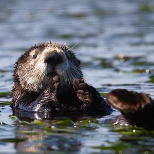 Sea Otter - Moss Landing, CA, USA