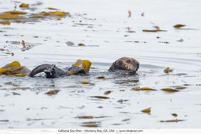 California Sea Otter - Monterey Bay, CA, USA