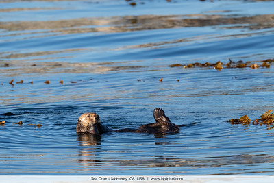 Sea Otter - Monterey, CA, USA