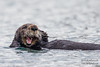California Sea Otter - Morro Bay, CA, USA