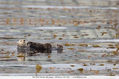 Sea Otter female with puppy - Monterey, CA, USA
