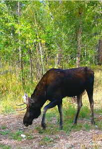Bull Moose - Tetons