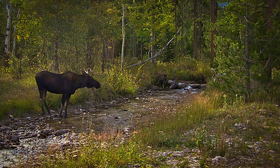 Moose in Stream - Tetons