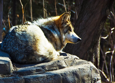 Wolf at Minnesota Zoo