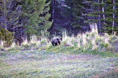 Mammoth Springs Grizzly Bears - Yellowstone