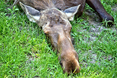 Sleepy Moose