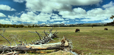 Yellowstone Bison Grazing