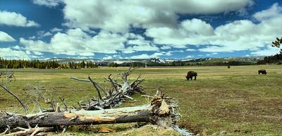 Yellowstone Bison Grazing