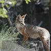 Coyote in Big Bear Mountain