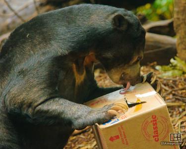 Malayan Sun Bear (Helarctos malayanus)