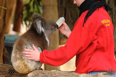 Hand feeding a young Koala