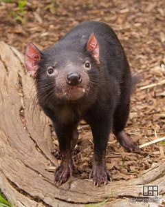Tasmanian devil (Sarcophilus harrisii)