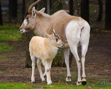 A two month old Addax calf (Addax nasomaculatus)