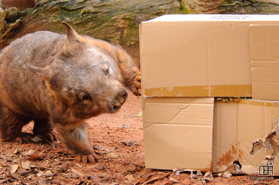 """Digger"" the Southern Hair-nosed Wombat (Lasiorhinus latifrons)"