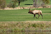This emperial elk (7x7 points) was wandering around the Estes Park golf course.