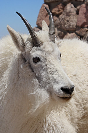Mountain Goats by Bill