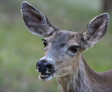 Mule Deer by Bill