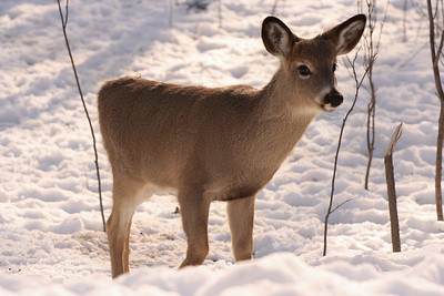 Whitetail Deer by Bill