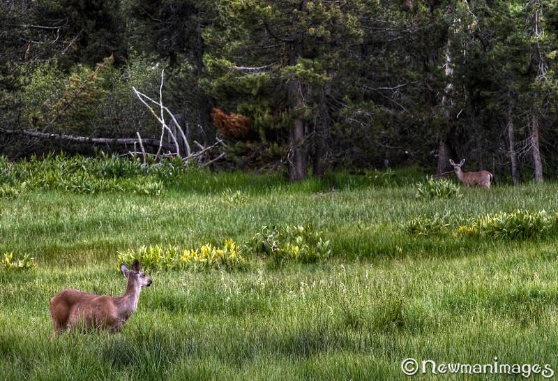 Deer in Lassen