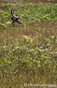 Elk in the Grass