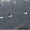 Pelicans at Eagle Creek Park