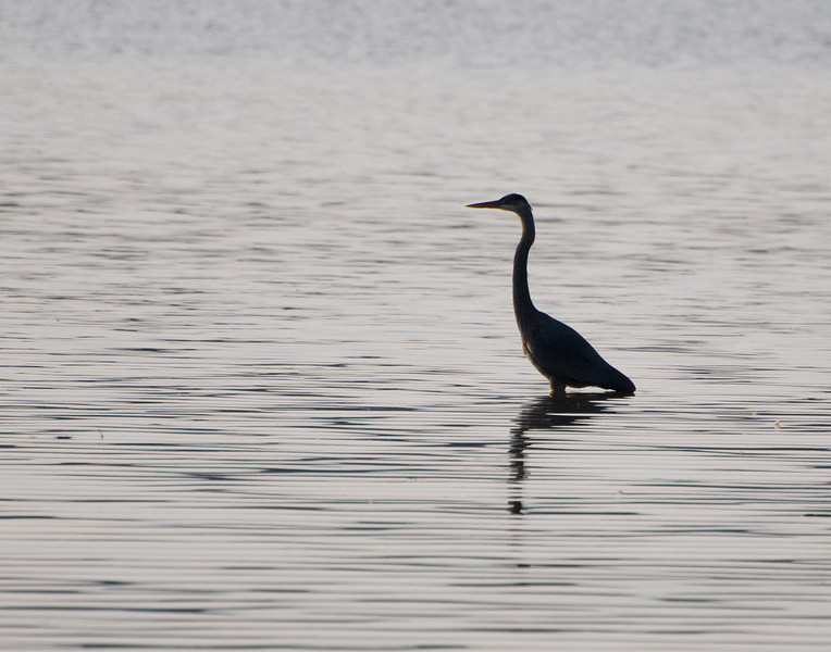 Heron at Eagle Creek Park