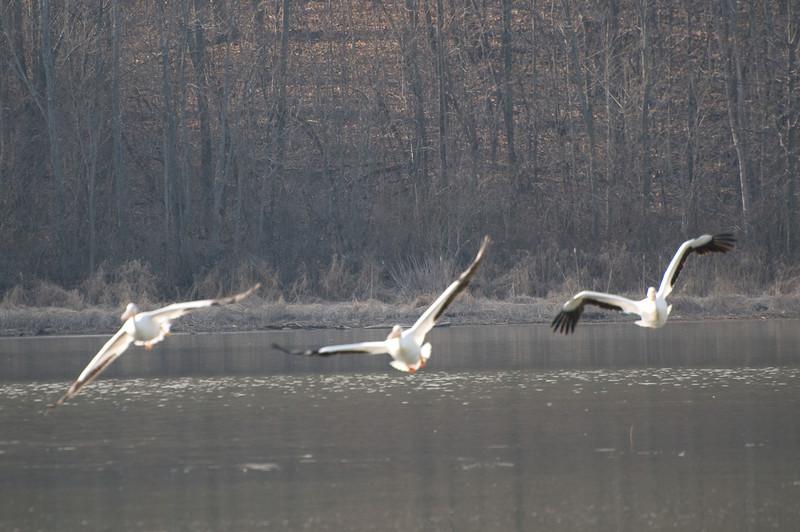 Pelicans at Eagle Creek Park