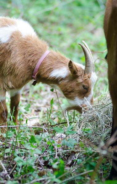 Lawn maintenance goats from Mapledell Farm