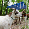 Abbott, one of the lawn maintenence goats available for rent from Mapledell Farm, hangs out at a home in Lunenburg. SENTINEL & ENTERPRISE / Ashley Green