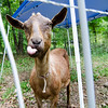 Archie, a goat owned by Mitzi Roy of Mapledell Farm in Townsend, hangs out at the home of Lunenburg resident Marie Doucette on Thursday afternoon. Mapledell Farm has begun renting their goats out to home owners who need help with lawn maintence. SENTINEL & ENTERPRISE / Ashley Green
