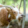 Abbott, a goat owned by Mitzi Roy of Mapledell Farm in Townsend, munches on some trees at the home of Lunenburg resident Marie Doucette on Thursday afternoon. Mapledell Farm has begun renting their goats out to home owners who need help with lawn maintence. SENTINEL & ENTERPRISE / Ashley Green