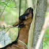 Eddie, a goat owned by Mitzi Roy of Mapledell Farm in Townsend, munches on some branches at the home of Lunenburg resident Marie Doucette on Thursday afternoon. Mapledell Farm has begun renting their goats out to home owners who need help with lawn maintence. SENTINEL & ENTERPRISE / Ashley Green