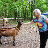 Marie Doucette greets Eddie in the yard at her Lunenburg home on Thursday afternoon. Mitzi Roy of Mapledell Farm has begun renting their goats out to home owners who need help with lawn maintence. SENTINEL & ENTERPRISE / Ashley Green
