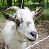 Abbott, a goat owned by Mitzi Roy of Mapledell Farm in Townsend, hangs out at the home of Lunenburg resident Marie Doucette on Thursday afternoon. Mapledell Farm has begun renting their goats out to home owners who need help with lawn maintence. SENTINEL & ENTERPRISE / Ashley Green