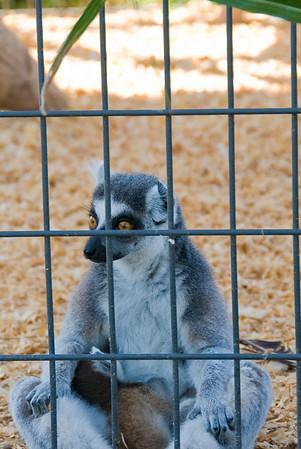 Leesburg Lemurs