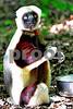 DSC_7457 Lemur Big Eyes vt crop