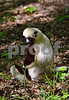 DSC_7480 Buddha Lemur
