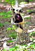DSC_7471 Lemur Up a Tree 8x12 vt