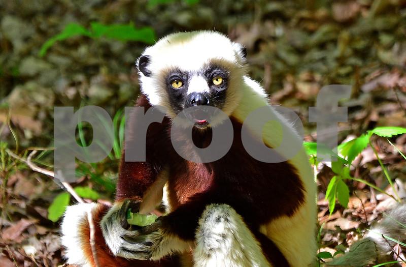 DSC_7491 Lemur Eating Cucumber best 4x6