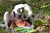 DSC_7548 Lemur Mom w baby feeding best