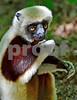 DSC_7456 CU Lemur Hand Over Mouth 2 vt 4x6 Best
