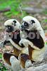 DSC_7505 Lemurs Two of a Kind Best