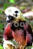 DSC_7450 Lemur Profile vt crop