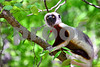 DSC_7540 Lemur on Branch Looking up procon dl Best