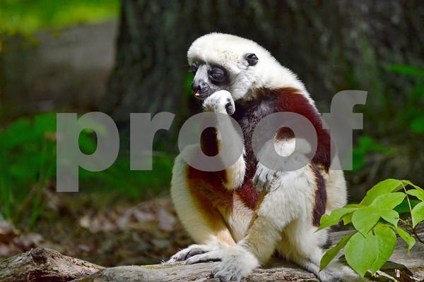 Lemurs-Duke Lemur Center May 3, 2015