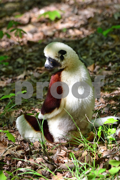 DSC_7481 Buddha Lemur 2