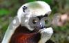 DSC_7455 CU Lemur Hand over Mouth hz crop Best