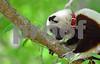DSC_7537 Lemur Looking Down from Branch