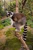 Inside the Lemur enclosure