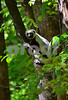DSC_7445 Lemur up a Tree May 3 15 vt crop